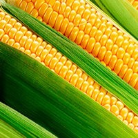 Кукуруза Днепровская семена