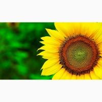Насіння соняшнику Атілла топ