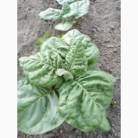 Акція Продаж махорки и сигаретний табак Верджинию и семена