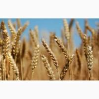 Підприємство купляє некондиційну та некласну пшеницю+самовивіз