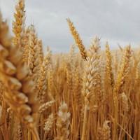Купляємо пшеницю з сажкою+доставка