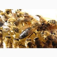 Для себя куплю 100-120 пчелопакетов, до 19 апреля