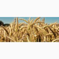 Продам посев. материал озимой пшеницы сорт Юбилейная 100 суперэлита Краснодарская селекция