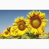 Насіння гібридів соняшнику Армагедон (110 дн) Гібрид