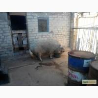 Продам свиноматку венгерской мангалицы