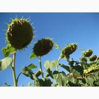 АКЦІЯ !!! Насіння соняшнику ІМІДОР, Штрубе (Strube), під Євролайтнінг ур 2017