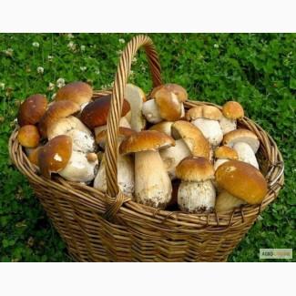 Закупаем целый Белый гриб