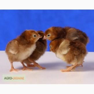 Цыплята Редбро, Голошейка и др