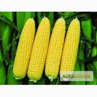 Семена кукурузы Лювена ФАО 260 (Selekta Seeds)