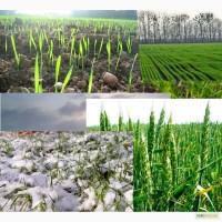 Подкормка пшеницы весной