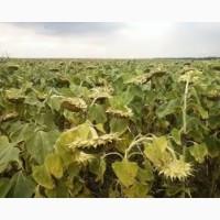 Продам насіння соняшника сорт (гібрид) Аркансель