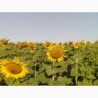 Семена подсолнуха Карлос 105 (под Евролайтинг) ВНИС