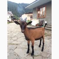 Альпийские козы и племенной альпийский козёл. Стадо