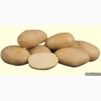 Продам картофель на закладку