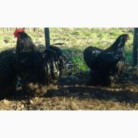 Орпінгтон Чорний інкубаційні яйця