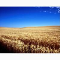 Куплю пшеницю з повишеною смітною не класну фузаріозну