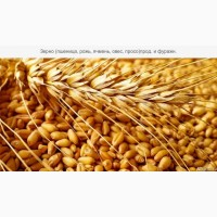 Купуємо пшеницю фуражну також 3клас, по Херсонській області