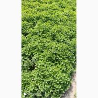 Продам мяту оптом для мохито