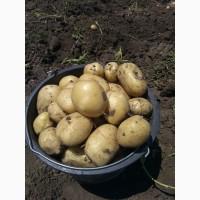 Продам молодой картофель Ривьера с поля или на рынке в Копанях
