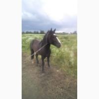 Продам коня(жеребець)