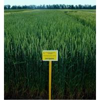 Продам семена озимой пшеницы Богдана урожай 2019