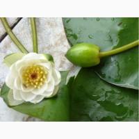 Лилия (нимфея, кувшинка) водяная