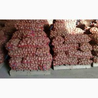 Ривьера посадка оптом в наявности велики обьяеми картопли. якість гарна дзвоніть