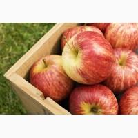 Яблоки Галла 65