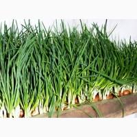 Продам лук(перо) зеленый ОПТ