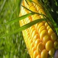 Кукуруза Харьковская семена