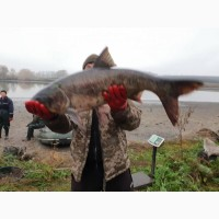 Продам живу товарну рибу (короп, Толстолоб, щука)