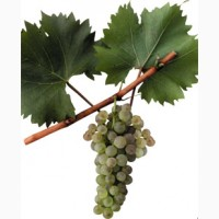 Продам саженцы винограда Бианка