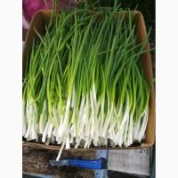 Продам лук зеленый (перо)