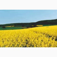 Покупаем рапс(ГМО и без ГМО).Самовывоз по договоренности