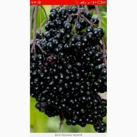 Купим по всей Украине сухую ягоду бузины