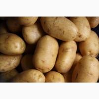 Овощи ОПТ Картофель + ДОСТАВКА бесплатно