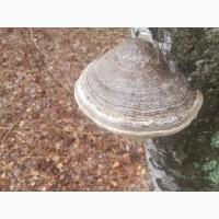 Продам гриб трутовик (березовый)