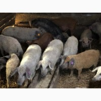 Свинки на племя породы Венгерская Мангалица 1, 5-2 месяца