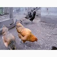 Инкубационное яйцо кур Амераукан, серебро, пшенично голубой