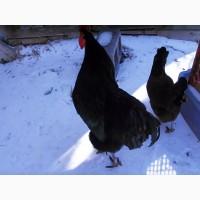 Предлагаю инкубационное яйцо Джерсийский Гигант, голубой, черный окрас