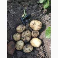 Реалізовуємо картоплю