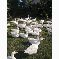 Продам гусей живою вагою