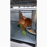 Продам бургундского кролика