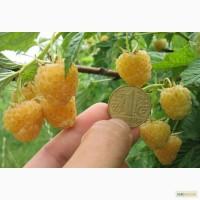 Рассада (саженцы) малины Желтый гигант