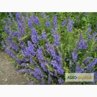 Продам семена Змееголовника (мелисса турецкая, маточник) Украина -медонос, лекарственное