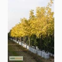 Саженцы акации: «Фризия» Robinia pseudoacacia Frisia