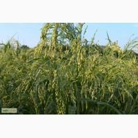 Предлагаю высококачественные посев матерял семена ПРОСО ЗОЛОТИСТОЕ 1р. 88 дней