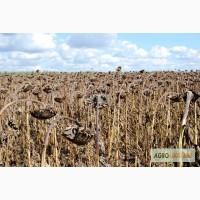 Семена гибрида F1 подсолнечника Ясон, Форвард