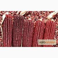 Семена фиолетовой кукурузы