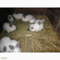 Продам кроликов новозеландцев калифорнийцев бургундцев и Полтавское серебро